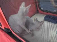 expozitia-felina-sofisticat-2011-romexpo-poze-05