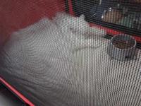 expozitia-felina-sofisticat-2011-romexpo-poze-07