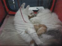 expozitia-felina-sofisticat-2011-romexpo-poze-08