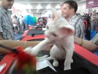 expozitia-felina-sofisticat-2011-romexpo-poze-20
